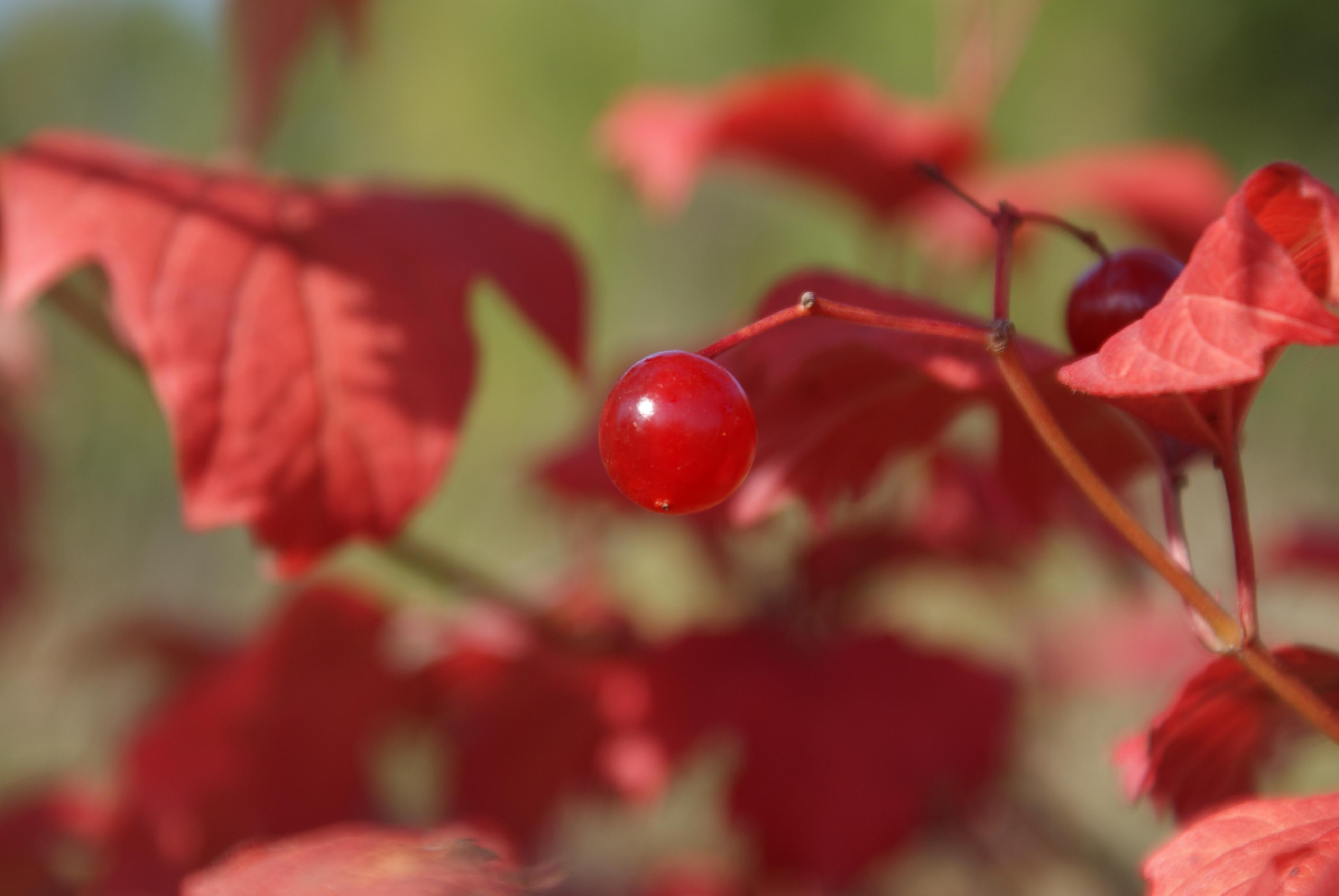 Осень в Переславле / Калина красная / Viburnum.